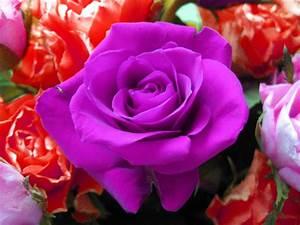 Violet Rose Wallpapers - Wallpaper Cave