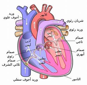 Simple Labeled Diagram Of A Heart