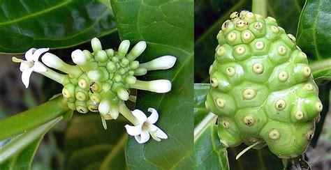 fiori ermafroditi morinda citrifolia monaco nature encyclopedia