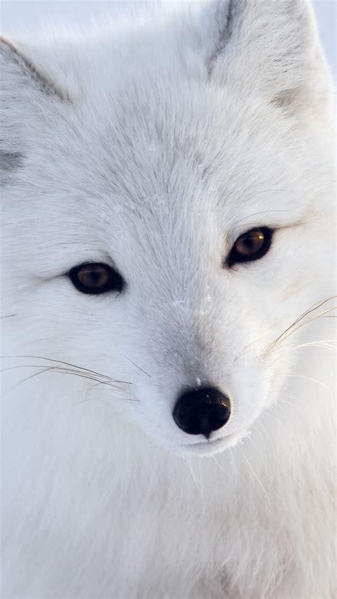 papersco iphone wallpaper  artic fox white animal cute
