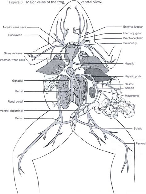 Frog Anatomy Coloring Sheets  Google Search  Science Frog  Pinterest  Frogs, Body Systems