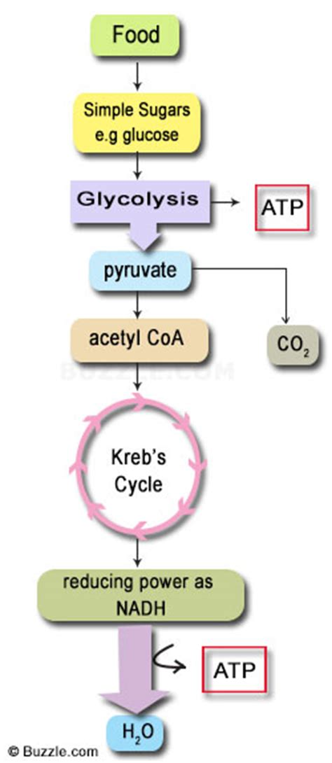 beginners guide  aerobic cellular respiration