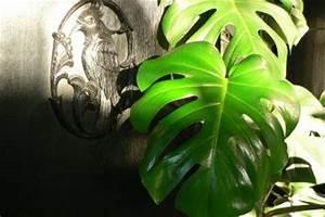 Monstera Deliciosa Ableger : luftwurzeln bei orchideen abschneiden orchidee eigenartige dendrobium luftwurzeln ~ Eleganceandgraceweddings.com Haus und Dekorationen