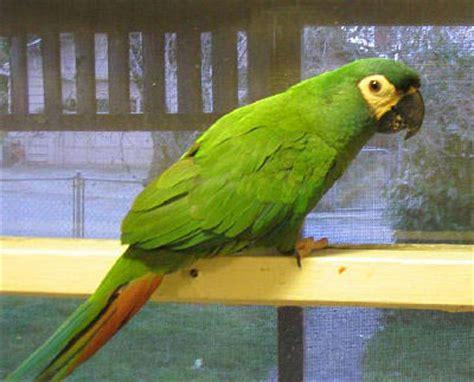 mini macaw mini macaw parrots types of mini macaws mini macaws as pets