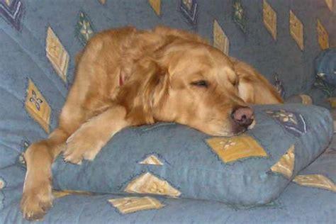 pipi canap pipi de chien sur canape en tissu 28 images canap 233