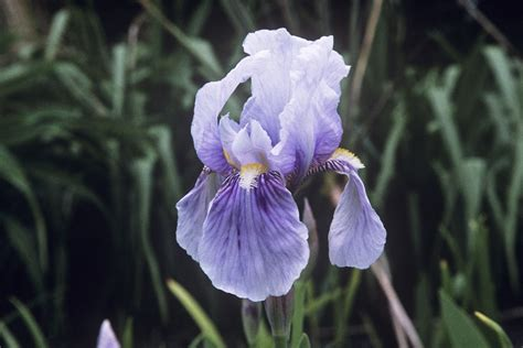how to care for irises iris species and how to care for them exotism all over your garden