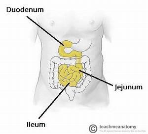 The Small Intestine - Duodenum - Jejunum - Ileum ...