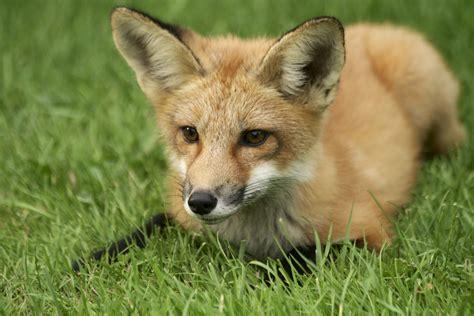 fox  ultra hd wallpaper  background image