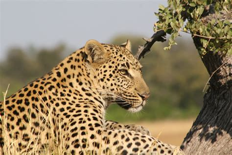 File:African Leopard 3.JPG - Wikimedia Commons