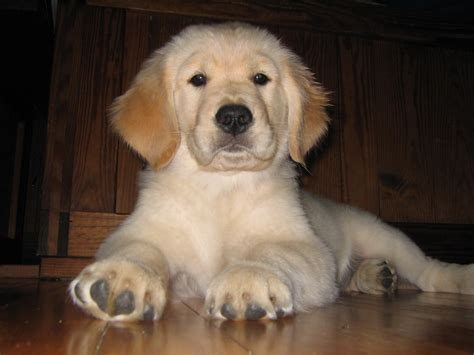 Delaware State Dog Golden Retriever