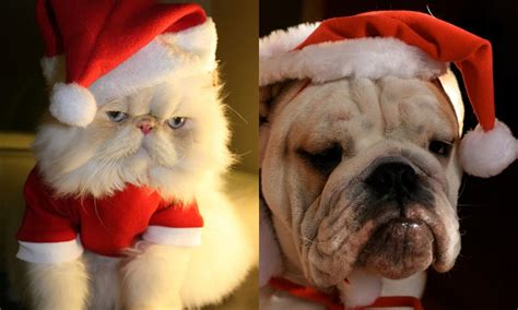 christmas cute  cats  puppies  wins  decide