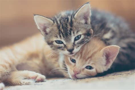 Kitchen And Living Room Ideas - kitten development in the first six weeks of life