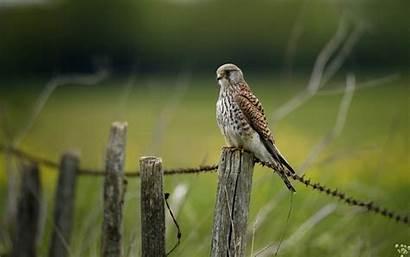 Falcon Bird Fence Birds Nature Desktop Wallpapers