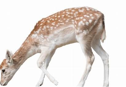 Deer Fallow Zoo Aquarium National Animal Head