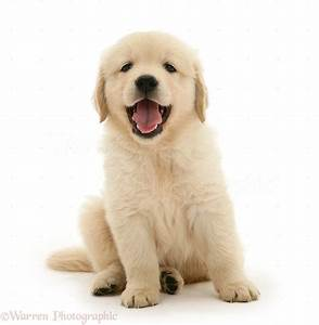 Dog golden retriever puppy sitting photo wp21555 for Puppy dog sitter