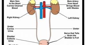 31 Urinary System Diagram