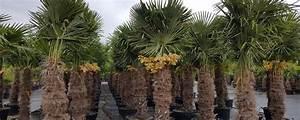 Palmen Für Den Garten : winterharte palmen ~ Sanjose-hotels-ca.com Haus und Dekorationen