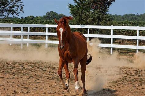 baiting hollow farm vineyards horse rescue  long island
