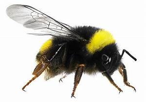Honey Bee Removal | Bumble Bee Removal | Portland OR ...