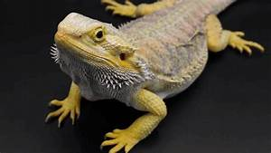 9 Fascinating Body Postures of Bearded Dragons
