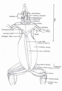 Anatomy Of Rat Musculature  Ventral View