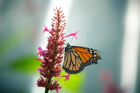 monarch butterfly pink flower  stock photo public
