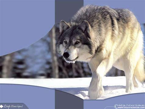le loupe de bureau fond d 39 écran loup dans la neige