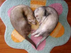 Funny And Cute Ferrets 2013 | Funny Animals