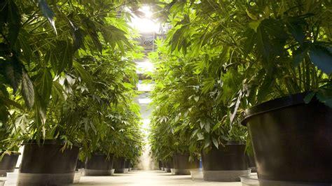 marijuana truck weed state washington plants into pot seattle times mike