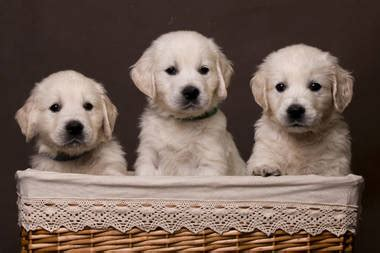 golden retriever   heaven hundewelpen
