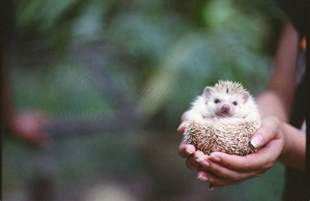 how to keep african pygmy hedgehogs as pets