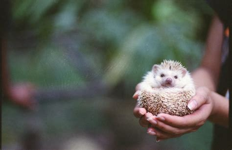 Heat L For Pygmy Hedgehog by How To Keep Pygmy Hedgehogs As Pets