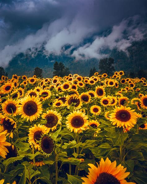 sunflower images  hd pictures