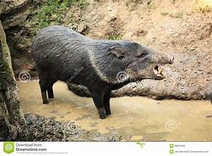 Collared Peccary Known As Wild Pig In The Mud Roars Stock ...