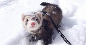 Adorable Ferrets Play in the Snow for the First Time ...