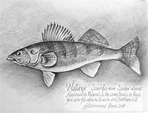Walleye Drawing by PJ Timmermans