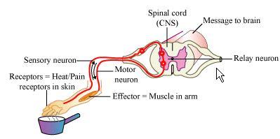 Diagram A Reflex Arc by Human Neural System Human Brain Pmf Ias