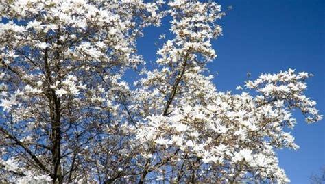 Botāniskajā dārzā kā lielas, baltas kupenas uzziedējušas ...