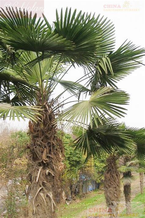 trachycarpusfortuneitesan seedsseedlings price