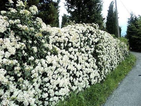 fiori da siepe arbusti da siepe siepi come scegliere gli arbusti per