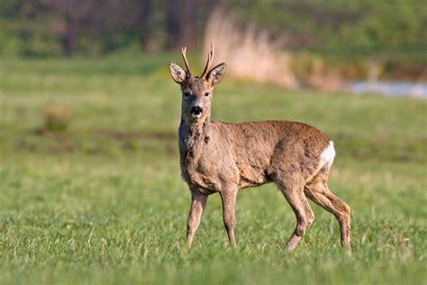 wildlife von rehwild rehe und rehbock  morgen