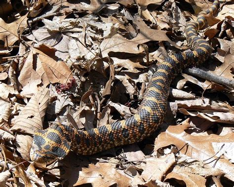 A Hillbilly Guide to Snakes: The Southern Copperhead ...