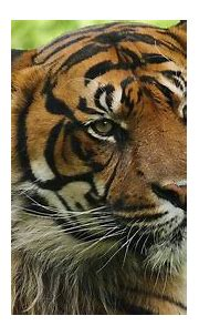 Siberian Tiger Wallpapers (59+ images)