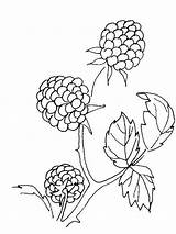 Coloring Pages Blackberry Berries Printable Fruits Template Aster Templates Mycoloring Recommended sketch template