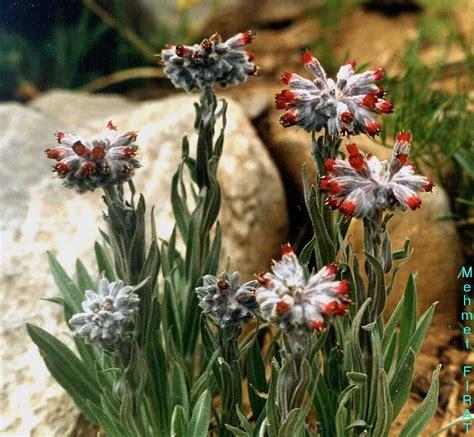 Boraginaceae / Rindera albida (WETTST.) KUSN. .jpg