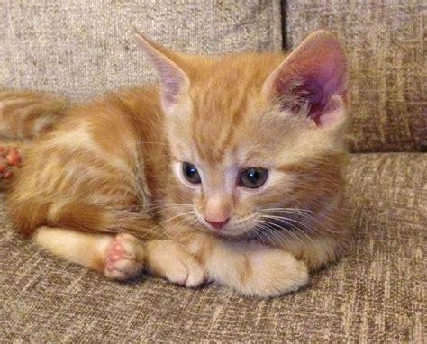 Mixed Breed Light Ginger Male Kitten  Gillingham, Kent