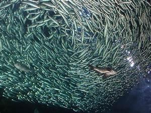 Image Gallery Live Sardines