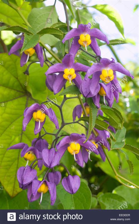 Lilac Purple & Yellow Climbing Plant Stock Photo, Royalty