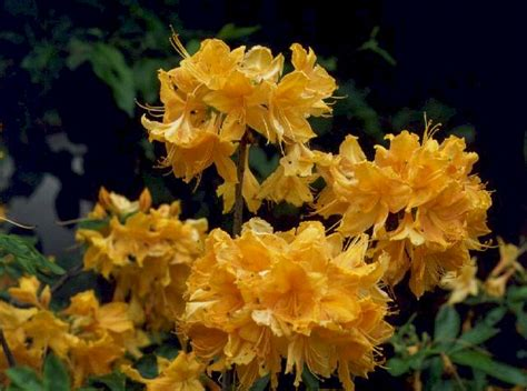 Golden Lights Azalea by Azalea Gammon S Garden Center Landscape Nursery