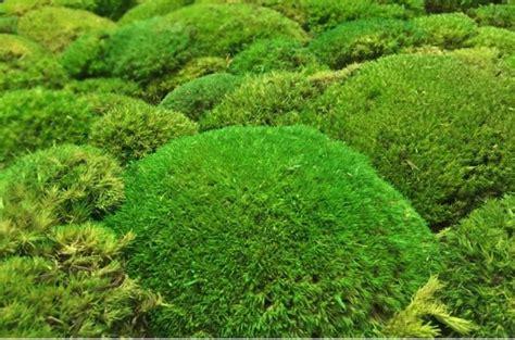 Japanischen Moosgarten Anlegen Moos Japanischer Garten